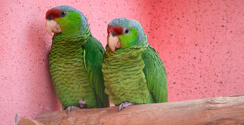 Dúvida da Semana: Preciso de autorização do Ibama para criar papagaio?