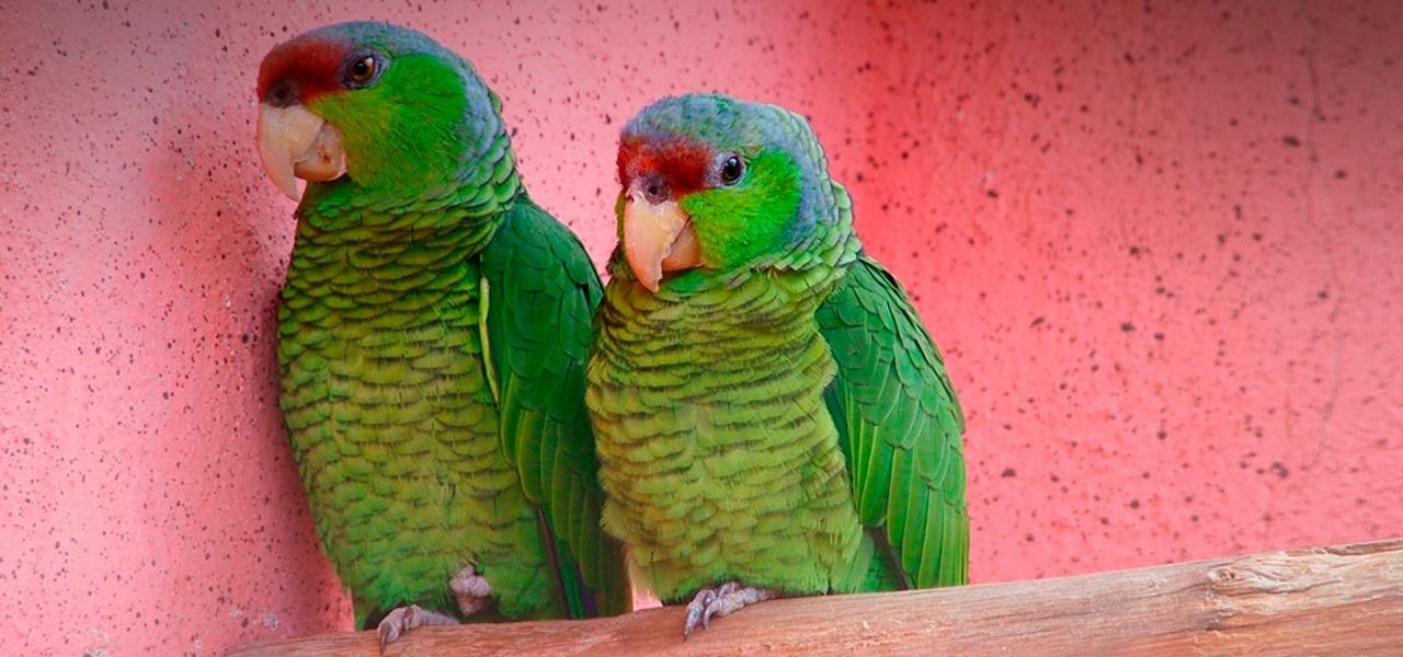 autorizacao do Ibama para criar papagaio
