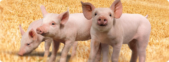 Resíduos orgânicos podem ser destinados para alimentação de animais?