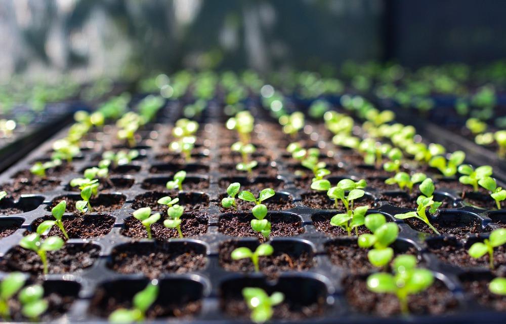 Obrigações para os produtores de sementes e mudas